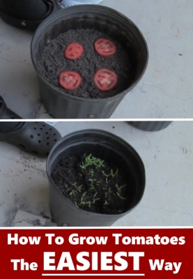 how-to-grow-tomatoes-easy